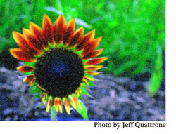 Sunflower8_low-res
