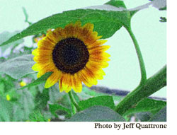Sunflowers7_lowres